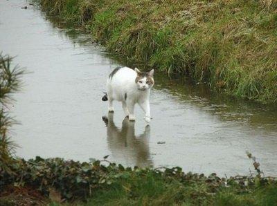 عکس راه رفتن گربه روی آب